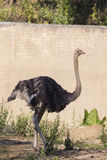 一只驼鸟的图象在自然背景的 免版税图库摄影