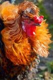 一只骄傲的五颜六色的雄鸡的画象 库存照片