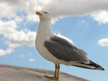 一只骄傲的海鸥 库存图片
