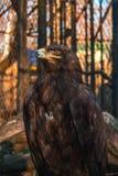 一只骄傲的老鹰关在监牢里 库存图片