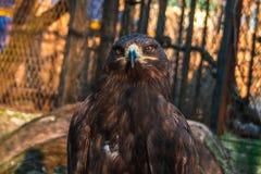 一只骄傲的老鹰关在监牢里 免版税库存图片