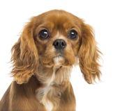 一只骑士国王查尔斯狗小狗的特写镜头, 5个月 库存照片