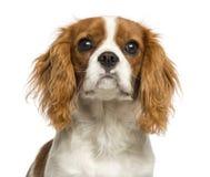 一只骑士国王查尔斯狗小狗的特写镜头, 5个月 免版税图库摄影