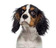 一只骑士国王查尔斯狗小狗(19个星期的特写年纪) 库存图片