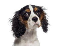 一只骑士国王查尔斯狗小狗(19个星期的特写年纪) 库存照片