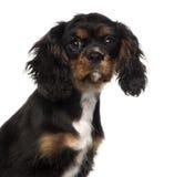 一只骑士国王查尔斯狗小狗(4个月)的特写镜头 免版税库存图片