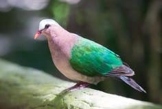 一只鲜绿色翼鸽子在一个国家公园的步行途中在泰国 免版税库存照片