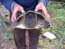 一只鳄龟 免版税库存图片