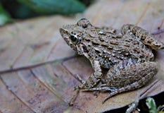 一只鳞状青蛙 库存照片