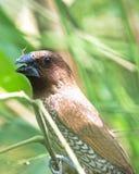 一只鳞状breasted Munia鸟召集给它的从一根枝杈的朋友在泰国 免版税库存照片