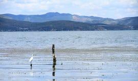 一只鸟在大理洱海 免版税库存照片