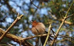 一只鸟在阳光下翻动坐枝杈 免版税图库摄影
