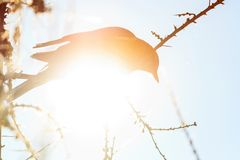 一只鸟的剪影在一个冬天晴天 库存图片