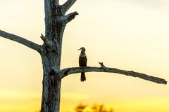 一只鸟的剪影在一个分支的在日落期间的沼泽地 库存图片