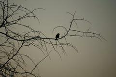 一只鸟的剪影在一棵树的在Pilanesberg国家公园 免版税库存图片