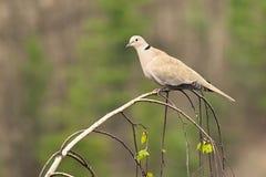 一只鸟的美好的图象在树的 Turtledove -抓住衣领口的鸠斑鸠decaocto 库存照片