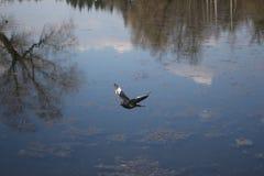 一只鸠在飞行中反对在湖水天空充分地反映的 免版税图库摄影