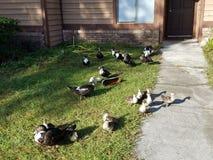 一只鸭子两鸭子三鸭子 免版税库存图片