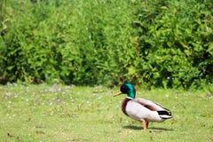 一只鸭子在公园 免版税库存照片