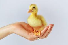 一只鸭子在我的手上! 免版税库存图片