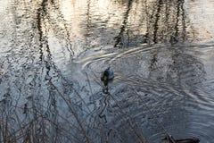 一只鸭子在有树创造的美好的纹理的一个池塘反射 图库摄影