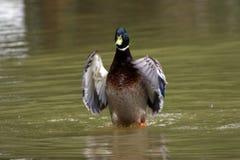 一只鸭子在池塘 库存图片