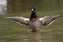 一只鸭子在池塘 免版税库存图片