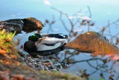 一只鸭子在秋天 库存照片
