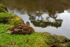 一只鸭子在秋天 库存图片