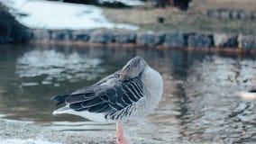 一只鸭子在英国庭院里在清洗她的面孔的慕尼黑市 库存图片