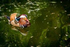 一只鸭子 免版税库存照片