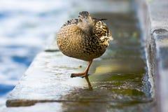 一只鸭子 图库摄影