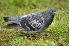 一只鸽子在公园 免版税图库摄影
