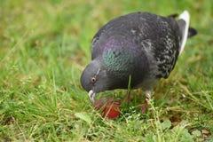 一只鸽子在公园 库存图片
