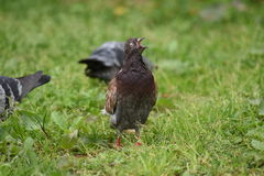 一只鸽子在公园 免版税库存照片