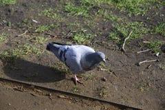 一只鸽子在有草和沙子的一个公园在伦敦 免版税库存照片