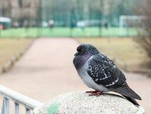 一只鸽子坐专栏 库存图片