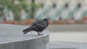 一只鸽子坐岩石 股票视频