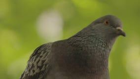一只鸽子接近从绿色背景 股票视频