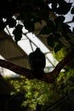 一只鸽子的剪影在分支的 库存图片