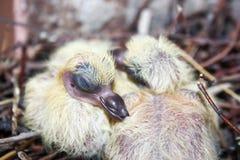 一只鸽子的巢在巢的睡觉 库存图片