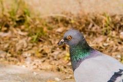一只鸽子的极端特写镜头与美好的颜色的在公园神色 免版税图库摄影