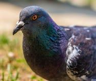一只鸽子的特写镜头在公园 免版税库存照片