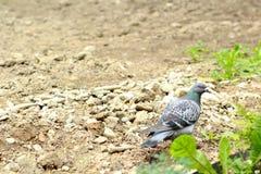 一只鸽子通过地面走 库存照片