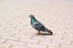 一只鸽子通过路面走 免版税库存照片