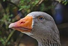 一只鹅的画象与明亮的蓝眼睛的 库存照片