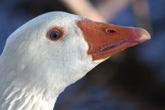 一只鹅的画象与蓝眼睛的 特写镜头 她的小牙被看见 图库摄影