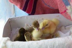 一只麝香的鸭子的鸭子 免版税图库摄影