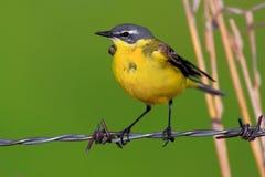 一只黄色令科之鸟鸟的特写镜头在春天嵌套期间 图库摄影