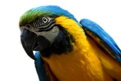一只黄色和蓝色金刚鹦鹉鹦鹉的画象在白色的 免版税库存图片